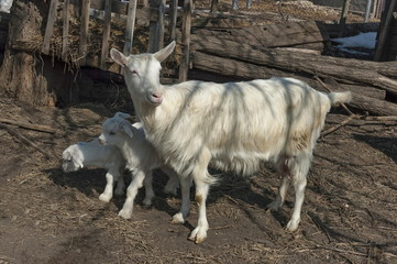 Two playful goat kids meet mother from pasture