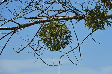 Mistletoe  or Viscum album on the tree