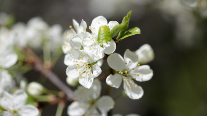 Branches of the blossoming apple-tree close-up