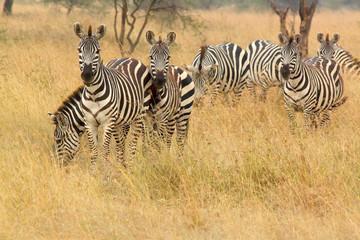 Common zebra in the bush