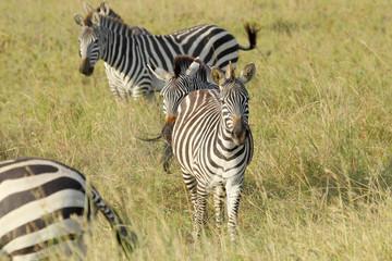 Common zebras in Serengeti