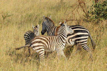 Young common zebras playing