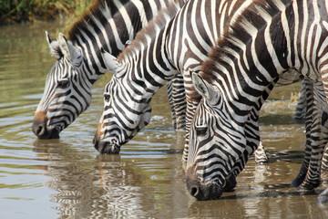 Common zebras drinking in Serengeti