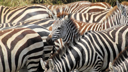 Baby common zebras surrounded by the herd