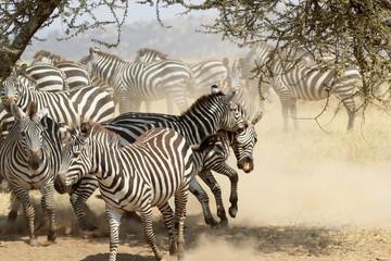 Herd of restless common zebras