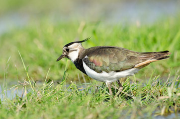 Northern lapwing (Vanellus vanellus) standing in grass