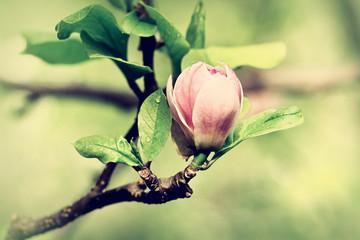 A burgeon of magnolia in springtime