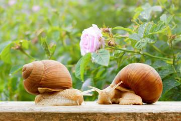 garden snails closeup rose wet spring background