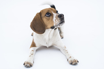 Beagle dog in down position isolated on white