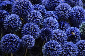 Blue echinops