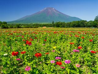 百日草の花畑