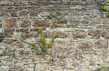 Old stacked stone wall with ivy