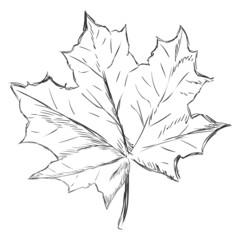 Vector Single Sketch Maple Leaf