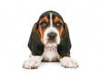 Cute Basset Hound Puppy Looking Forward