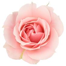 "Постер, картина, фотообои ""Pink rose close up, isolated on white"""