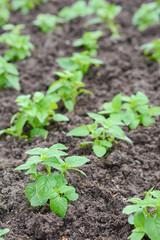 gardener are planting green flower