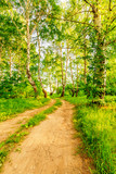 Fototapeta Road in birch forest