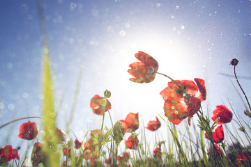 low angle photo of red poppies against sky with light burst and