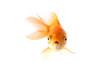 Leinwandbild Motiv Golden koi fish scared isolated on white background.
