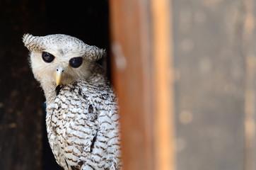 Bird (Spot-bellied Eagle-Owl) on the best perch