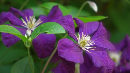 Close up of some Purple Clematis flowers in little breeze