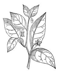 Victorian engraving of a belladonna leaf