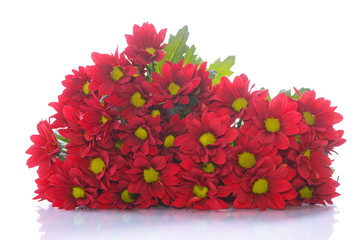 beautiful red blooming chrysanthemum