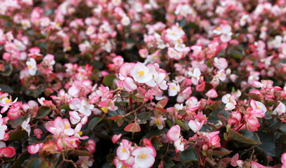 Pink begonia  flower field as background