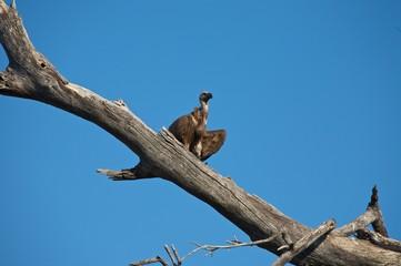 Avvoltoio su un ramo
