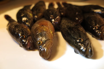 Freshly caught Chinese sleepers (Perccottus glenii) on a plate