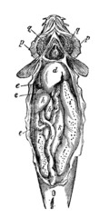 Victorian engraving of a disected fish.