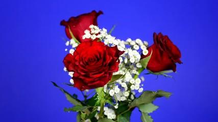 drei Rosen vor blauem Hintergrund, HD, 60 fps