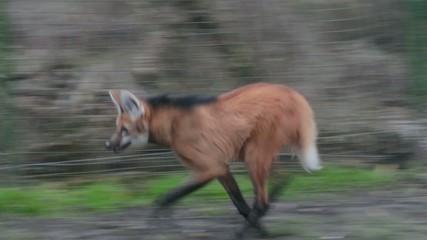 Running maned wolf (Chrysocyon brachyurus)
