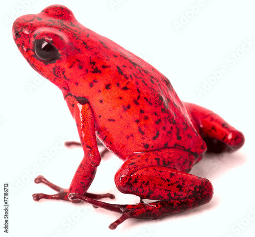 Foto op Aluminium Kikker red poison arrow frog
