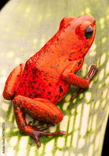 Fotobehang Kikker red strawberry poison dart frog