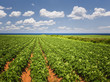 Potato field in Prince Edward Island - 77187353