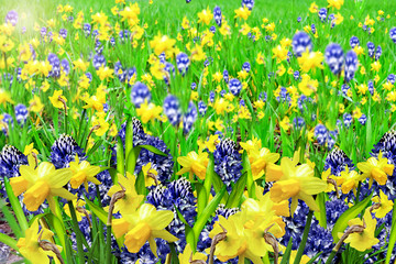 Summer landscape. flowers daffodils and hyacinth