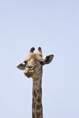 portrait of a wild funny giraffe, Kruger, South Africa