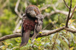 Постер, плакат: New Zealand kaka grooming on tree branch