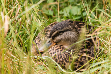 female mallard resting in grass