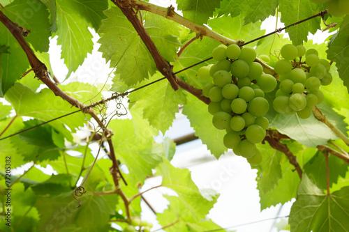 Keuken foto achterwand Wijngaard grapevine