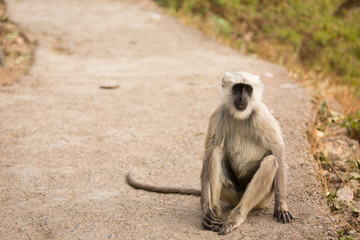 Wild black moneky on the road in Rishikesh, India