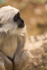 Baby black monkey in forest of Rishikesh, India