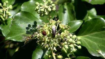 Ladybug, housefly and Balteatus on a efeu flower