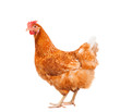 full body of brown chicken hen standing isolated white backgroun - 77221716