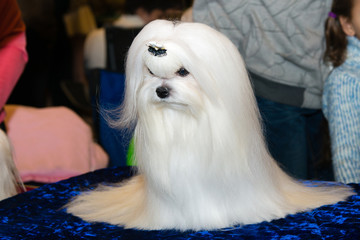 Beautiful Maltese.
