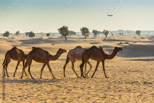 Foto op Plexiglas Kameel Desert landscape with camel