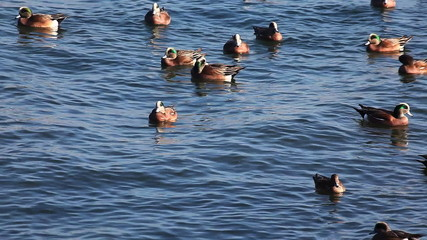 A winter flock of American Wigeon