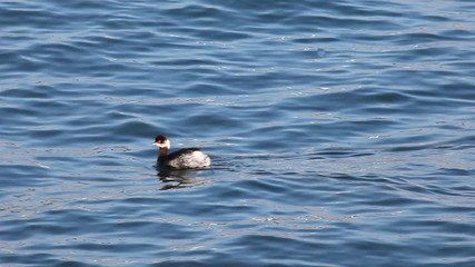 An Eared Grebe, Podiceps nigricollis, swimming on open water
