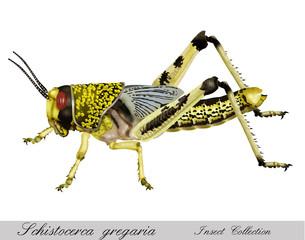 schistocerca gregaria grasshopper